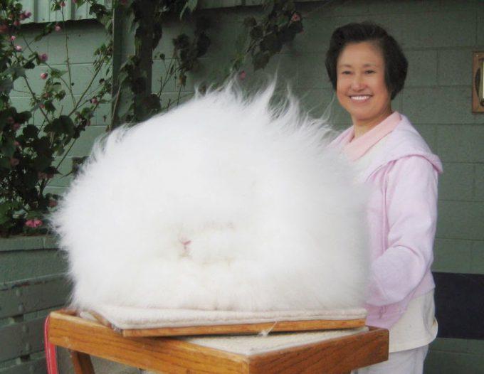 モフモフ! まるで巨大な毛玉のようなアンゴラウサギがすごい(笑)
