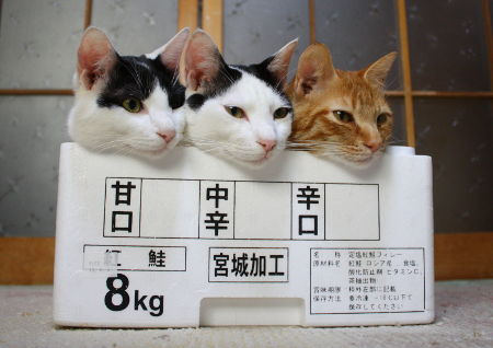 【猫おもしろ画像】どの味が好み? 宮城で加工された甘口・中辛・辛口猫(笑)