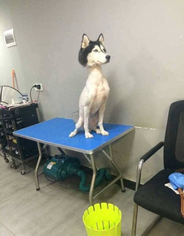 【犬おもしろ画像】毛を刈られすぎた犬の頭と体のギャップがおもしろい(笑)