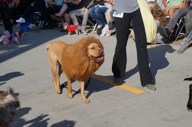 【海外ハロウィン犬おもしろ仮装画像】ドッグコスチュームパレードに登場した犬のおもしろいライオンコスプレ(笑)
