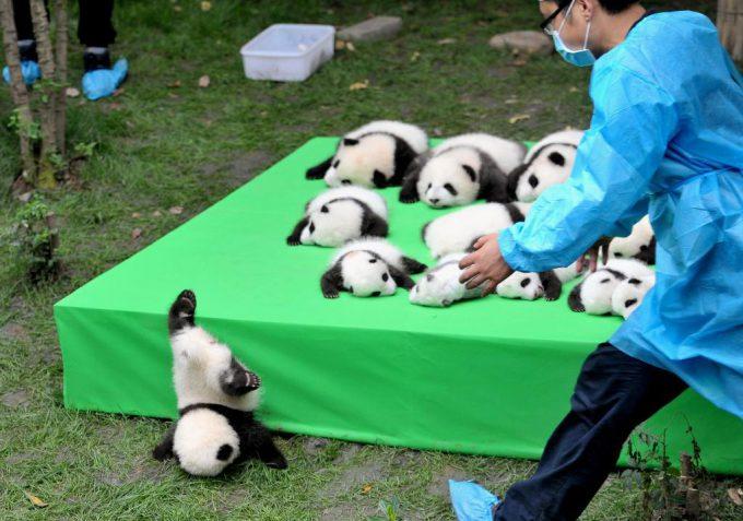 あっ! 中国でお披露目された赤ちゃんパンダ、台から転げ落ちる(笑)