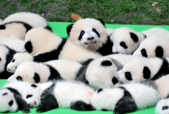 成都パンダ繁殖育成研究基地でお披露目された2016年生まれの赤ちゃんパンダ