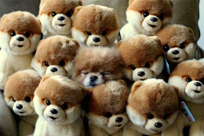 【犬おもしろ画像】かわいすぎ! 世界で一番かわいいポメラニアンBOO(ぶー)、ぬいぐるみに同化(笑)