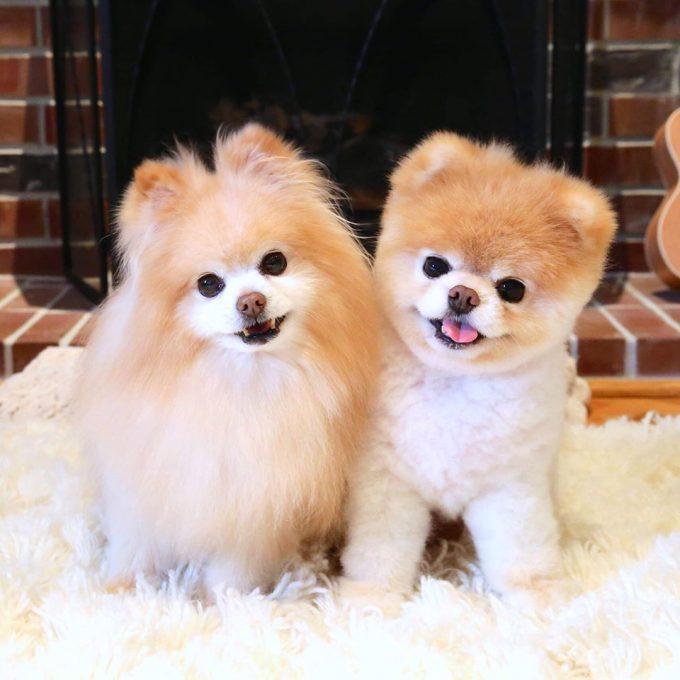 ポメラニアンBoo&Buddy