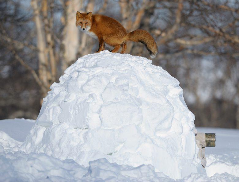 近い! ロシアでキツネを撮影しようと雪に隠れていたらキツネにバレる(笑)