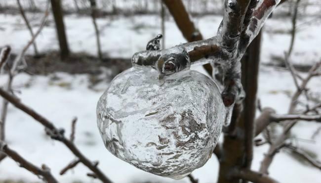 美しい! 木に氷のリンゴの形だけが残る現象「ゴーストアップル」が神秘的(笑)