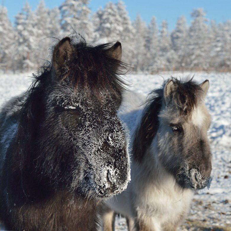 極寒! ロシアのオイミャコン村はヤクート馬の毛が凍るほどの寒さ(笑)