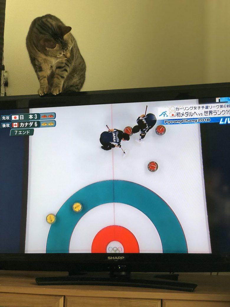 2018平昌五輪の女子カーリング試合に参加したい猫がおもしろい(笑)