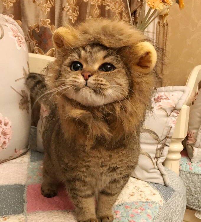 【猫おもしろ画像】猫のライオンコスプレがかわいすぎ(笑)