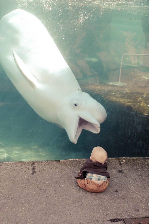 【赤ちゃんおもしろ画像】グオー! 赤ちゃんを驚かそうとする水族館のシロイルカ(笑)