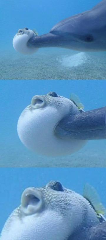 イルカに突撃されたフグの表情(笑)
