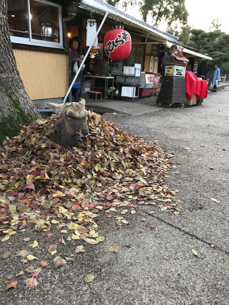 集まった落ち葉で温まる奈良のシカ(笑)