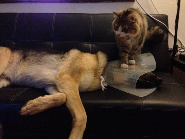 エリザベスカラーを付けた犬の頭を踏んづける猫(笑)