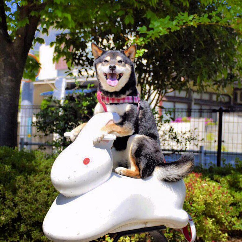 【犬おもしろ画像】公園のお月見うさぎ遊具に乗って月に行こうとする柴犬がかわいい(笑)