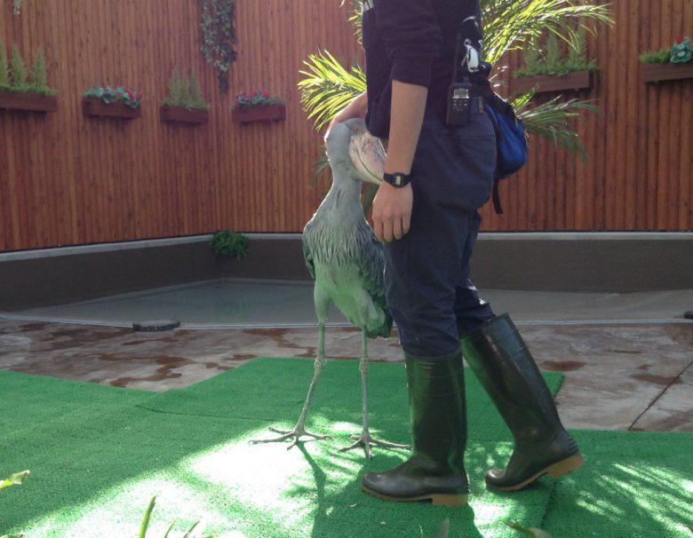 飼育員さんに甘える掛川花鳥園のハシビロコウ「ふたばちゃん」(笑)