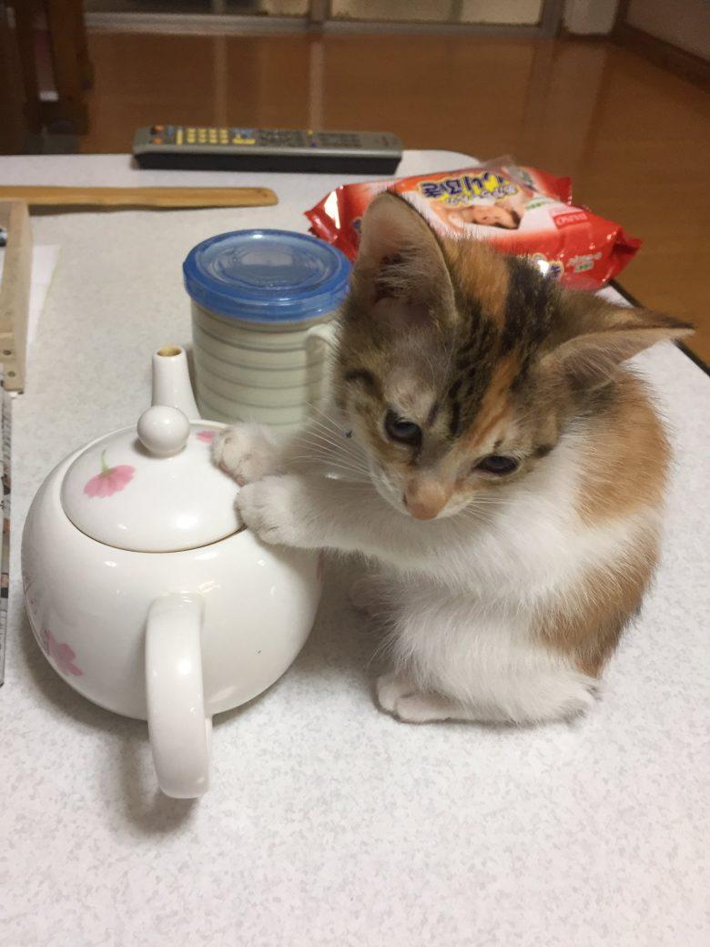 ヒーターを消したら急須で温まる子猫がかわいすぎ(笑)