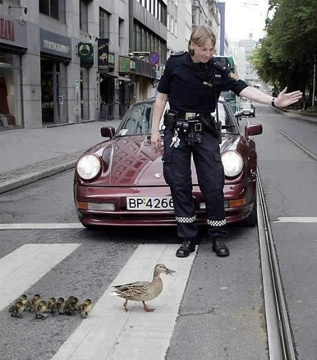 警察官に誘導されて横断歩道を渡るカモの親子(笑)