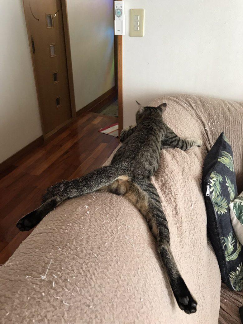 ソファーの背もたれの上でだらける猫のおもしろいポーズ(笑)