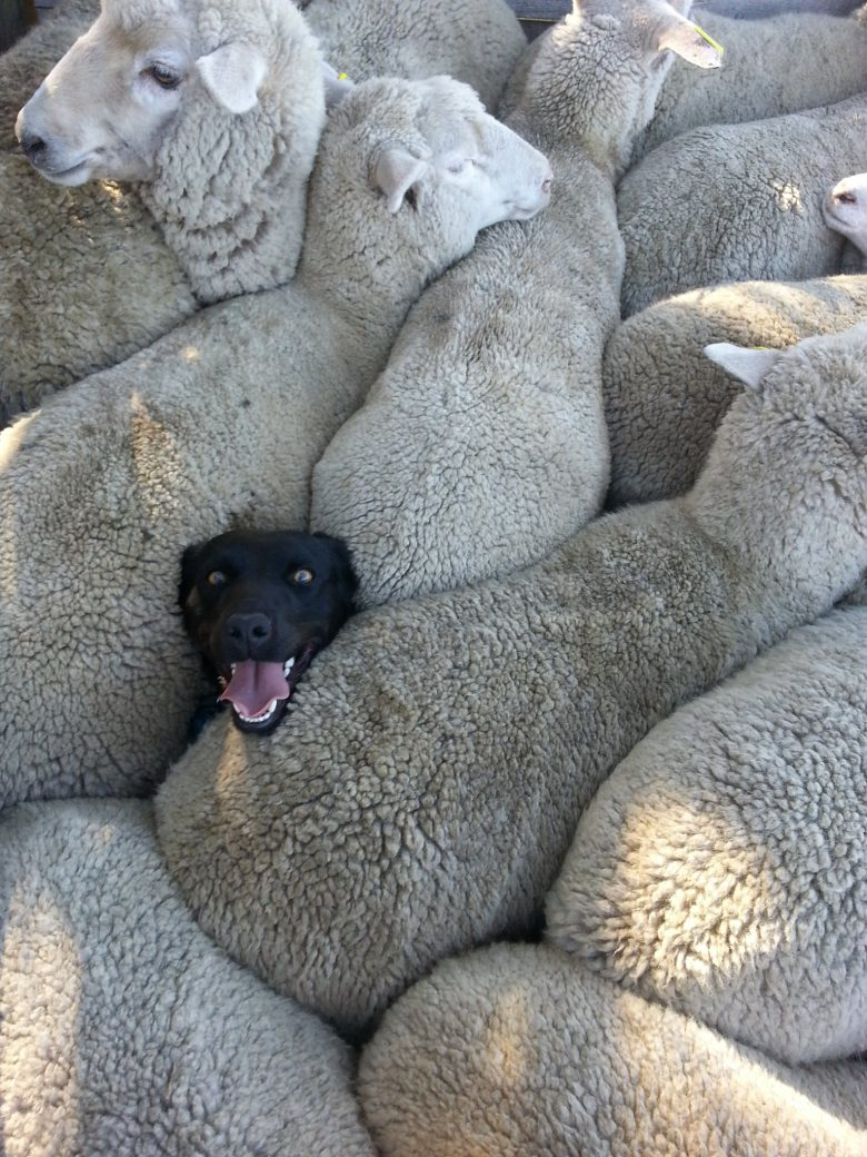 ぎゅうぎゅうの羊の群れの中から顔を出す犬(笑)