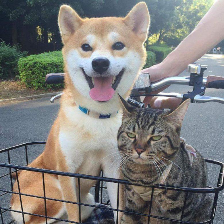 【犬猫おもしろ画像】散歩が嬉しそうな柴犬と怪訝そうな表情をする猫がおもしろい(笑)