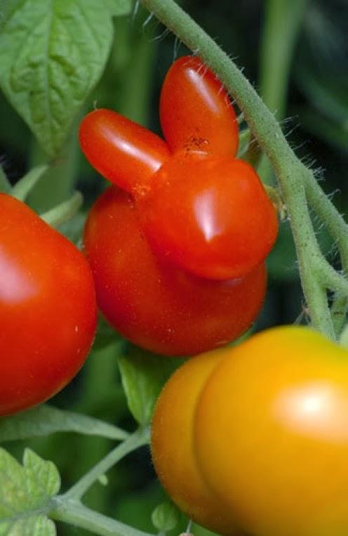 【食べ物おもしろ画像】うさぎの形をしたトマトがかわいい(笑)