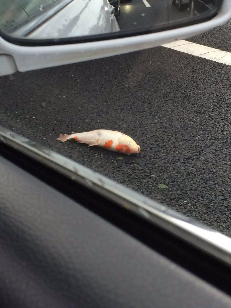 【台風で起きた衝撃の出来事画像】台風9号の影響なのか、鯉が道路に落ちていた(笑)