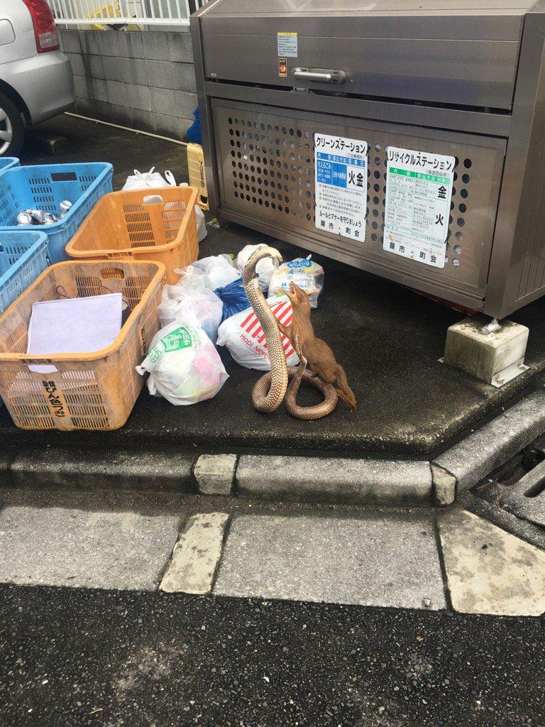 ゴミ捨て場で繰り広げられるハブとマングースの熱いバトル(笑)