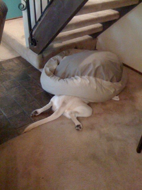 【犬おもしろ画像】すごい体制で寝るおもしろい犬(笑)