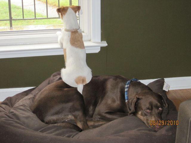 【犬おもしろ画像】大きな犬を椅子にして外を眺める犬(笑)