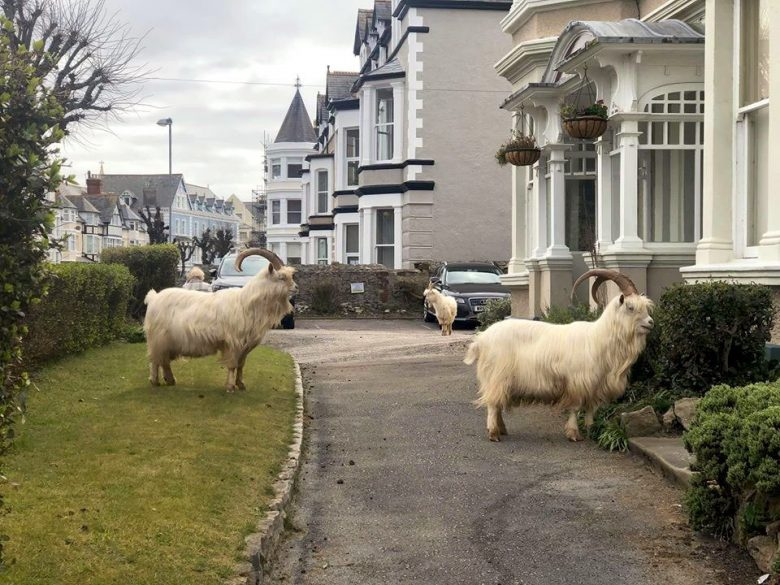 【ロックダウンのヤギおもしろ画像】ロックダウンで人がいなくなった街を占拠するヤギ(笑)