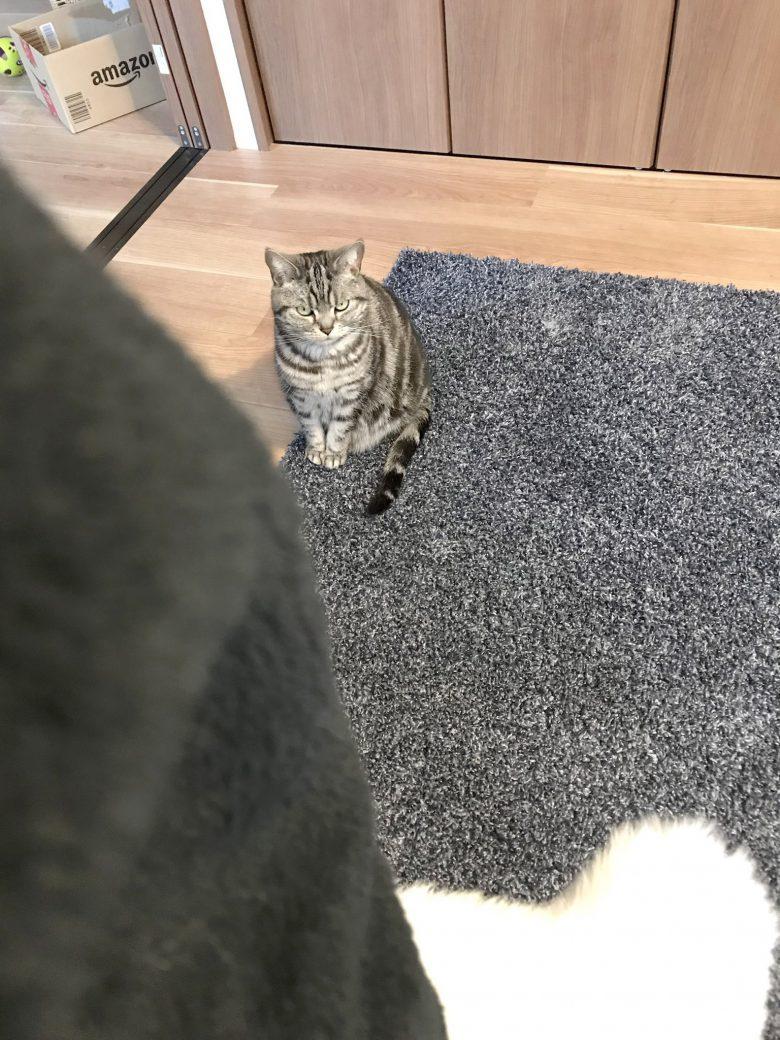 【テレワーク中の猫おもしろ画像】テレワークで自宅にいるのに遊んでくれない事に不満そうな猫(笑)