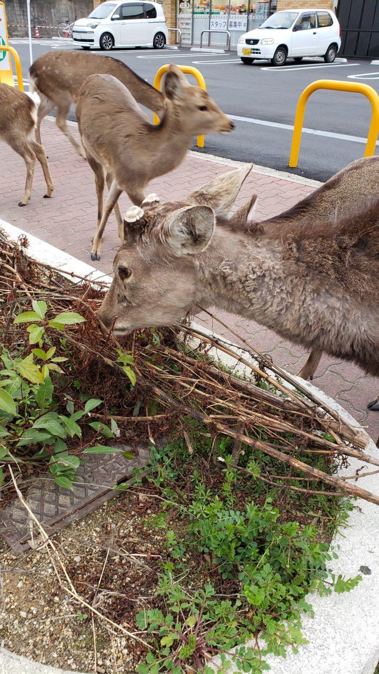 【コロナ禍の鹿おもしろ画像】奈良の鹿、新型コロナによる観光自粛でエサを探して街を徘徊(笑)