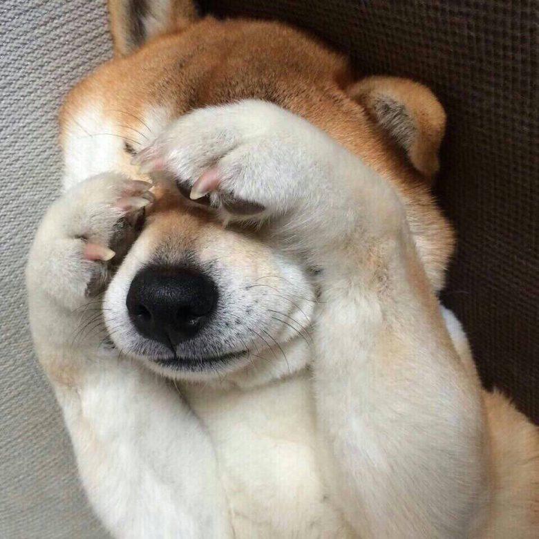 【犬おもしろ画像】いないいないばぁをする柴犬がかわいすぎ(笑)