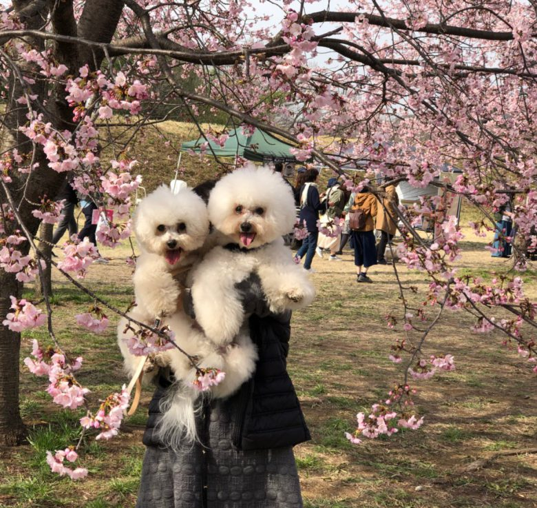 【犬おもしろ画像】父と母で抱っこの表情の差がありすぎるビション・フリーゼ犬(笑)