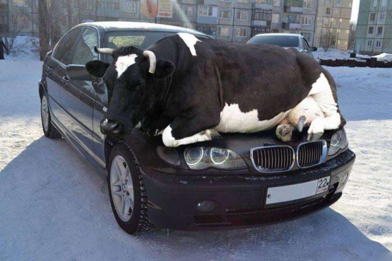 BMWボンネットの上で暖を取る牛(笑)