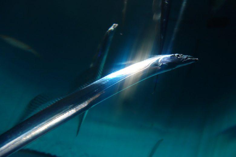 ネットで刀だと思って見てた画像が太刀魚だった(笑)