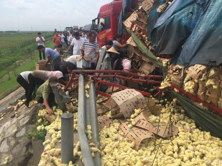 中国でひよこを積んだトラックが横転してひよこが大脱走(笑)