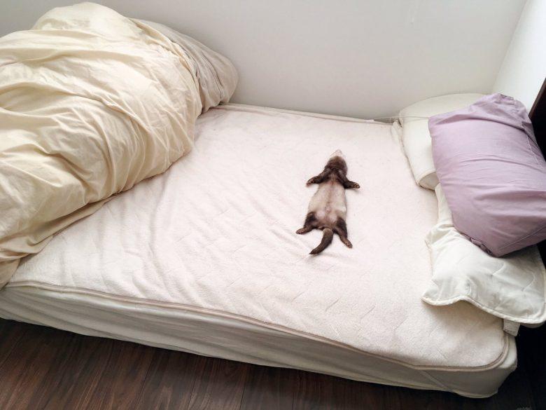 お父さんのベッドで大の字に寝るおもしろいフェレット(笑)