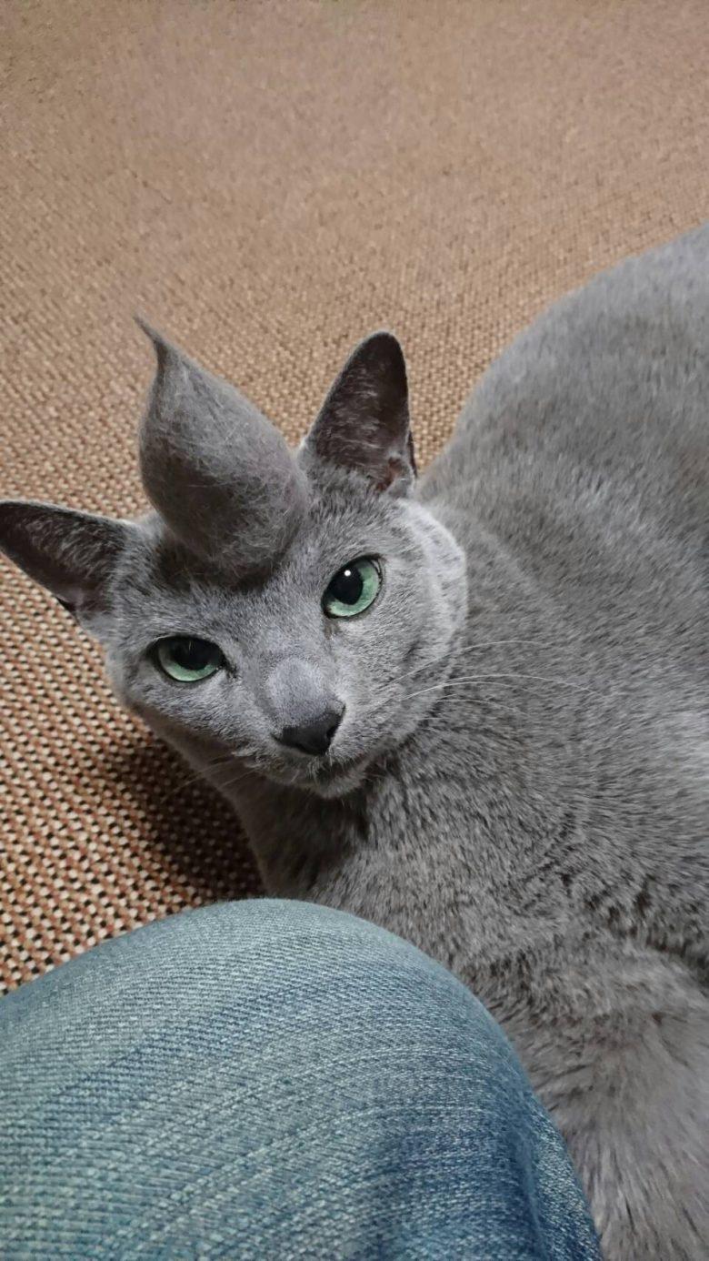 【猫おもしろ画像】角が生えて強そうに見える猫のヘアスタイル(笑)