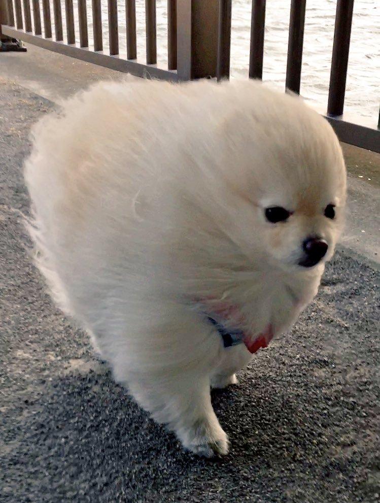 【犬おもしろ画像】強風の中を散歩するポメラニアン(笑)