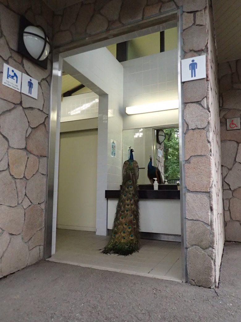 多摩動物公園の男子トイレでクジャクが鏡で身だしなみチェック(笑)