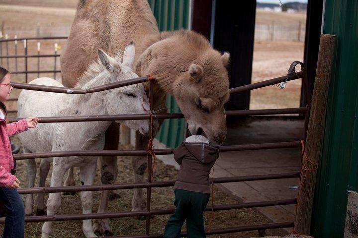 【子どもおもしろ画像】ラクダに食べられる子ども(笑)