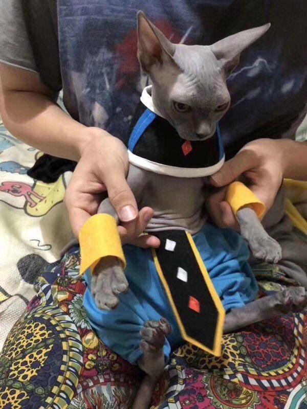 【猫おもしろ画像】ドラゴンボールの破壊神ビルスにそっくりな猫(笑)