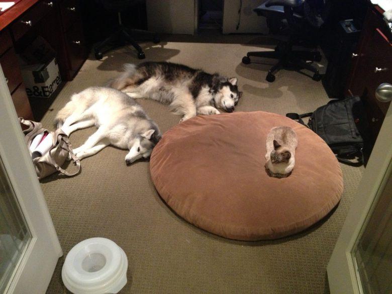 【犬おもしろ画像】猫に寝床を取られて、仕方なく床に横になる犬たち(笑)