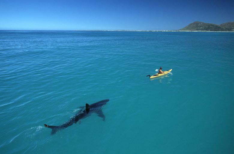【海おもしろ画像】カヤックに付いてくるホオジロザメが怖い(笑)