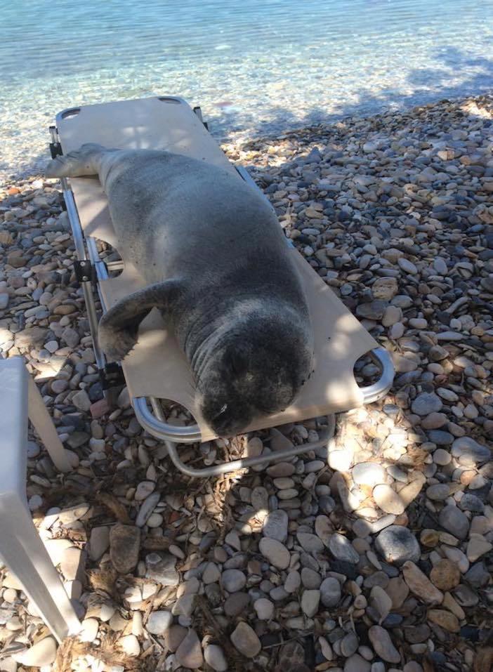 【海のアザラシおもしろ画像】ビーチチェアで日光浴をするアザラシ(笑)
