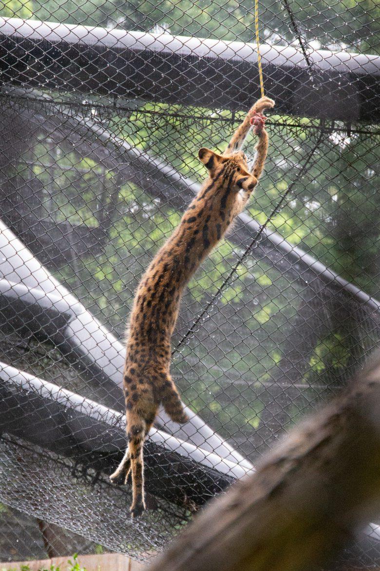 多摩動物公園のすごい長いサーバル(笑)