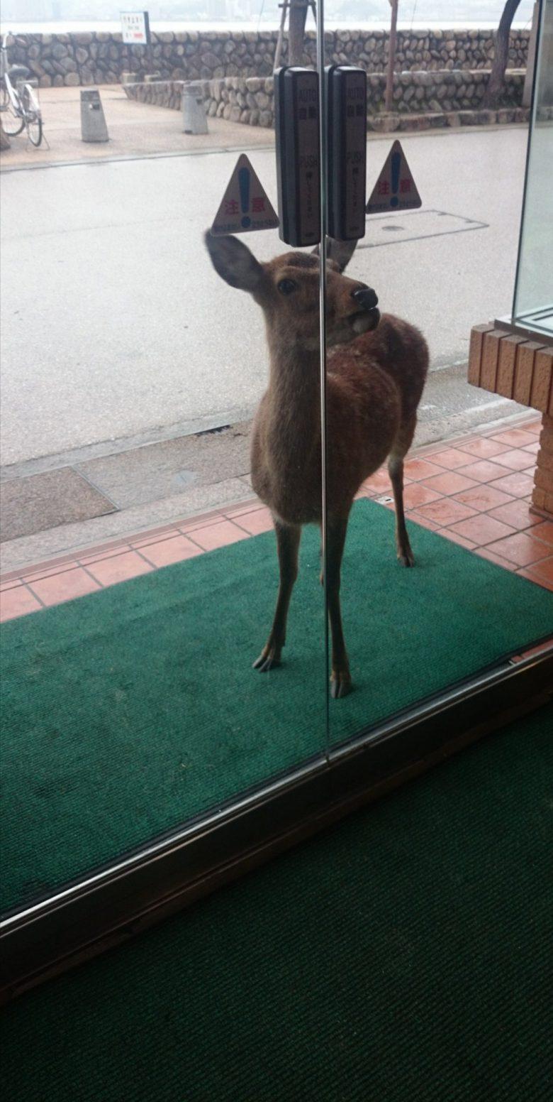 宮島の食堂「お食事処フクヤ」への入店を断られるシカたち(笑)