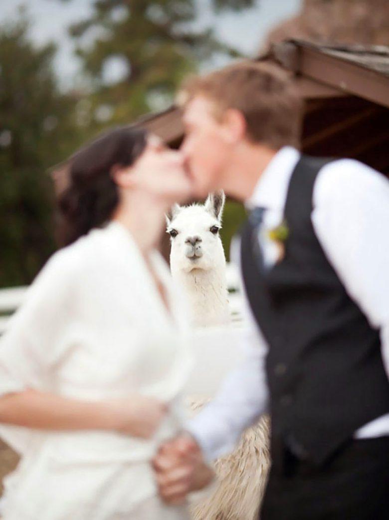 【結婚式とアルパカおもしろ画像】結婚式の撮影で2人の間から顔を出すアルパカ(笑)