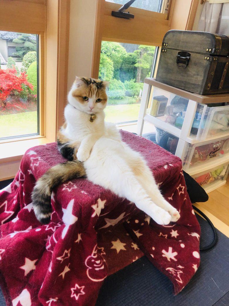 【猫おもしろ画像】こたつの上でプリンセス座りする猫(笑)